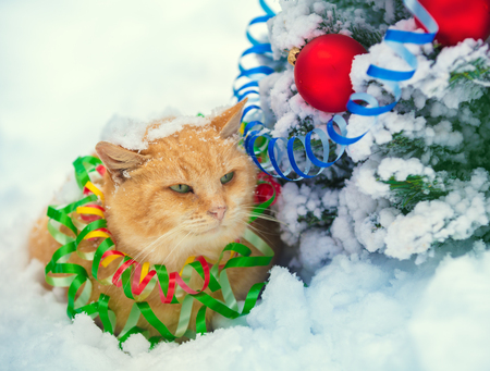 Portrait of a Blue British Shorthair cat entangled in the colorful streamer. Cat walking in the snow outdoors