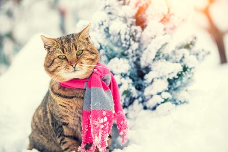 Portrait of a cat wearing scarf near snowy fir tree. Cat sitting outdoors in winter