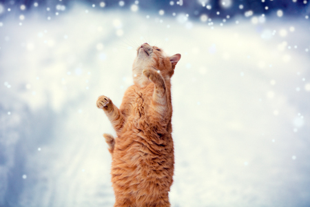 A red cat catches snowflakes during a snowfall