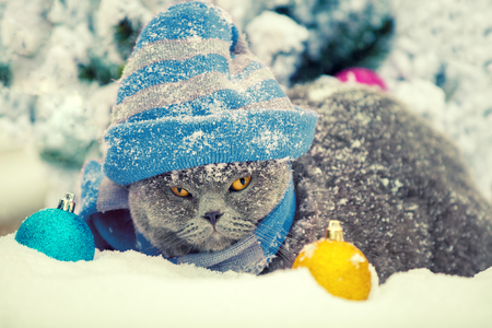 Fashion portrait of Blue British shorthair cat wearing knitting hat. Cat walking outdoor in snow near fir tree and christmas balls Stock Photo