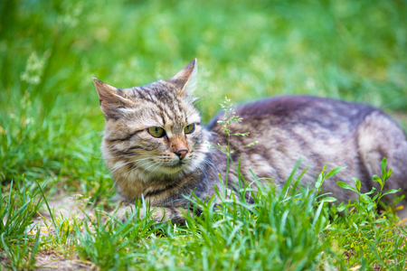 Portrait of a cat lying in the grass in the garden in summer