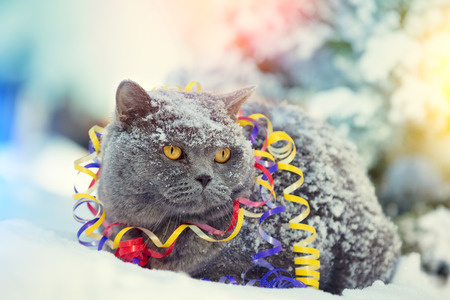 Portrait of a Blue British shorthair cat entangled in colorful streamer. Cat walking in the snow outdoors.