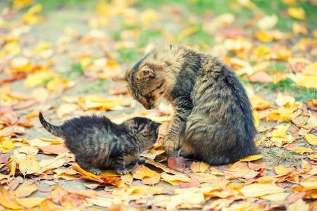 Little kitten with mother cat in a garden on fallen leaves in autumn