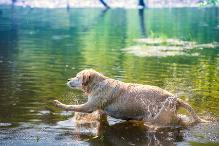 Labrador retriever dog swimming in the lake
