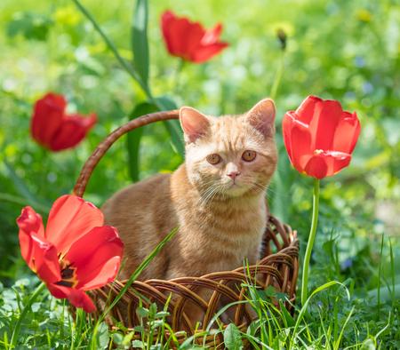 Ginger kitten sits in a basket near tulips in a garden in spring