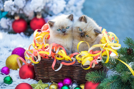 Two cute siamese little kittens in a basket with Christmas decoration