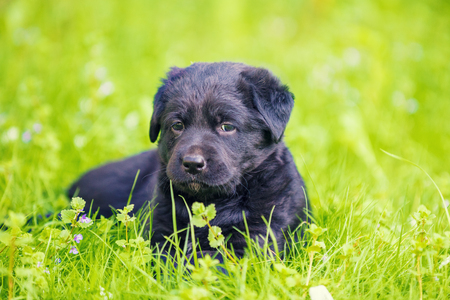 Black Puppy Labrador retriever lies on the grass