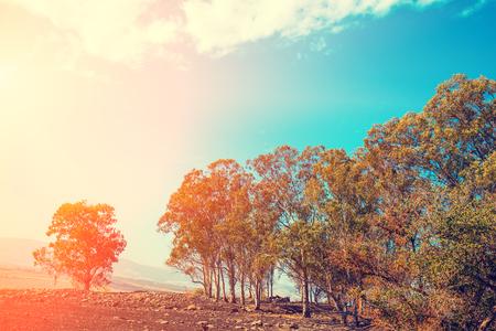 Eucalyptus grove. Golan heights, north Israel