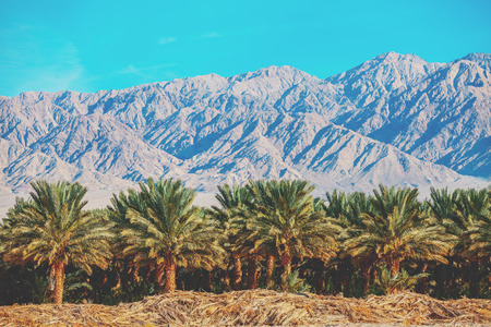 Palm grove on the background of mountains