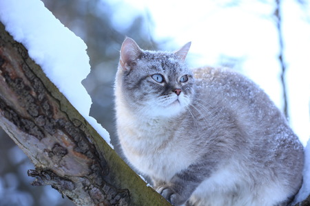 Siamese cat sits on a tree in the garden in a snowy winter