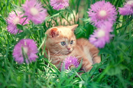 Cute little red kitten sitting in flowers on the grass
