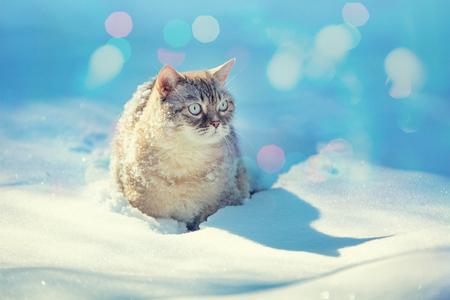 Cute Siamese cat walks in deep snow in the garden in the snowfall in winter