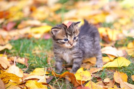 The cute striped kitten is walking on fallen leaves in the autumn garden Stok Fotoğraf