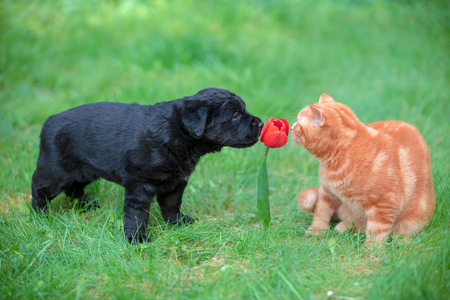 Funny animals. Little puppy and kitten playing outdoors in the summer garden. Cat and dog sniffing red tulip flower