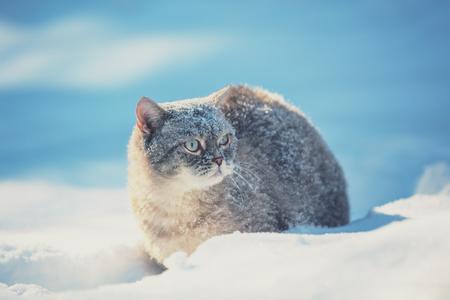 Cute Siamese cat walking outdoors in the deep snow in winter