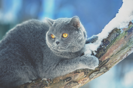 Blue British Shorthair cat sitting on a branch of the snow-covered tree in winter
