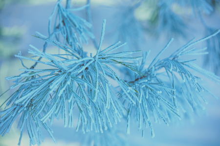 Pine branches covered with hoarfrost. Natural winter background. Winter nature. Snowy forest Christmas background
