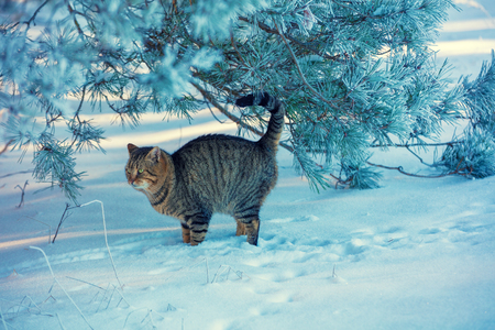 A cat walking on the snow in the forest in winter