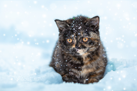 Little tortoiseshell kitten sitting on the snow in winter Stock Photo