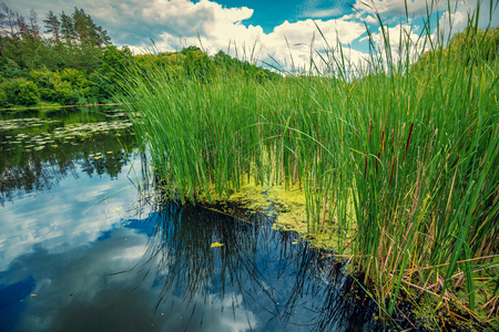 Lake shore with tall sedge grass in summer