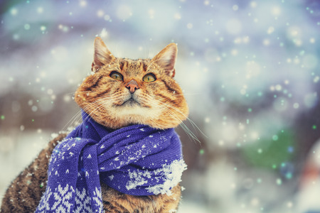 Portrait of a cat wearing a scarf in snowy winter near fir tree