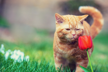 Cute little red kitten walking on the grass in a garden. Cat sniffing tulip flower Imagens