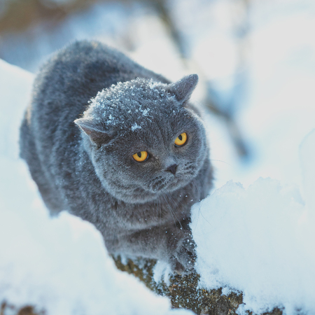 Blue British Shorthair cat sitting on the snowy tree in blizzard