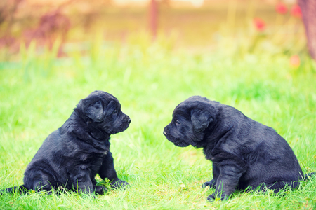 Two funny labrador retriever puppies looking at each other. Dogs play on the grass in the summer garden