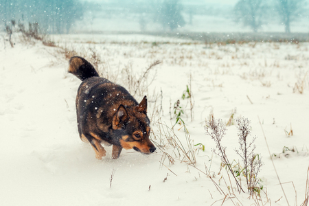 Dog walking in the snow covered field in a blizzard Stock Photo