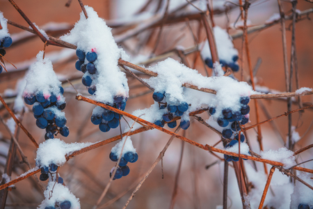 Covered with snow red wine grapes on the grapevine in winter 免版税图像