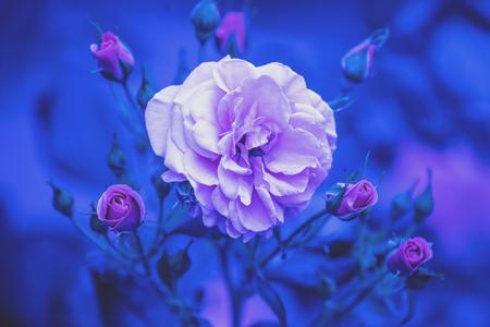Rosal en el jardín. Fondo de naturaleza flor azul vintage