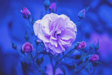 Rosebush in the garden. Blue vintage flower nature background