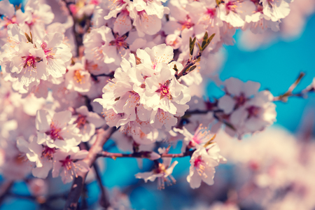 Blooming orchard. Flowering apricot tree branches