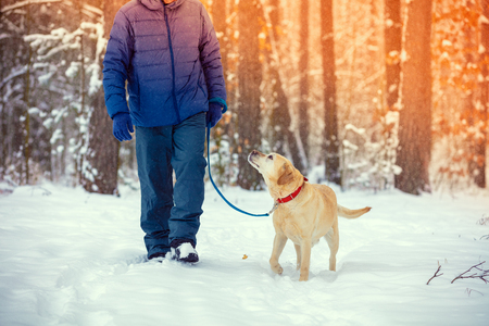 A man with a Labrador retriever dog on a leash walks in a snowy winter pine forest