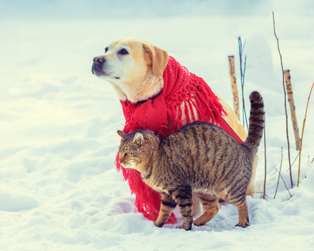 Cute scene.  Funny dog and cat playing together outdoors in winter. Dog wrapped in a red shawl and sitting on the snow. Cat rubbing against the Labrador retriever dog Stock Photo