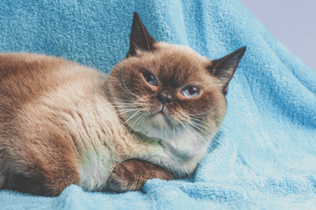 Portrait of the colorpoint British Shorthair cat