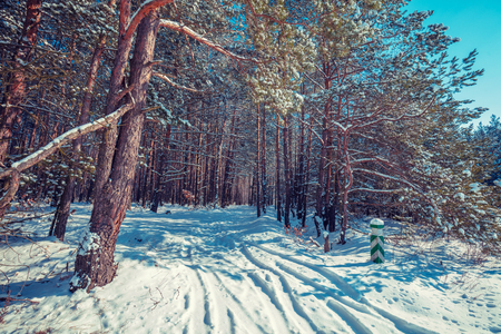 Path in the winter pine forest on a clear sunny day