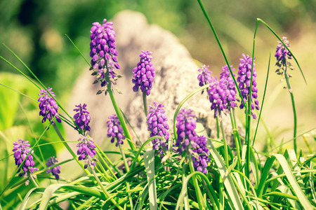 Hyacinth plant in the spring garden. Nature background