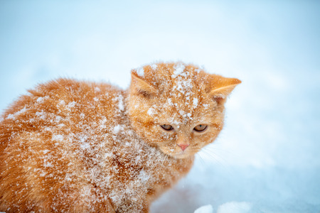 Cute red kitten covered with snow in the winter garden
