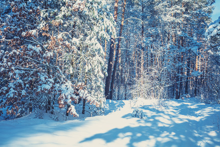 Winter pine forest covered with the deep snow. Pine trees covered with snow. Winter nature. Nature winter background. Christmas background