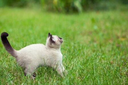 Little funny siamese kitten walking on the grass in summer Фото со стока