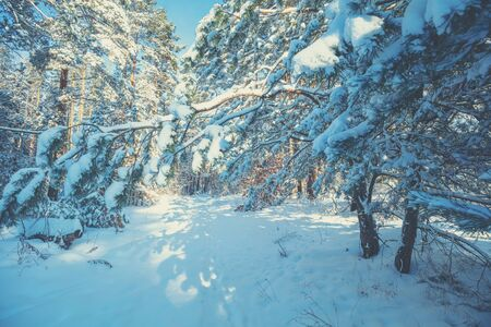 Nature winter background.  Snowy forest.  Pine trees covered with snow. Winter nature. Christmas background