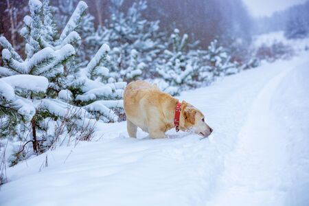 Labrador retriever dog is hunting in deep snow in a winter snowy forest