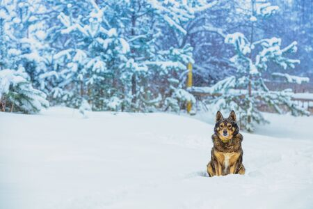 The dog sits in the deep snow at the edge of a pine forest