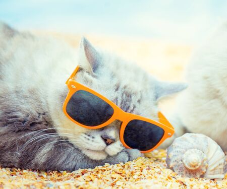 Cat wearing sunglasses lying on the beach near shell