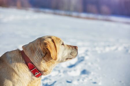 Portrait of a Labrador retriever dog sitting outdoors in a winter snowy forest