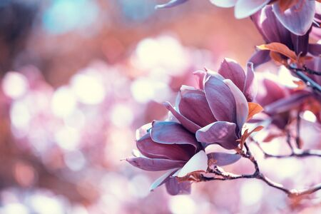Blossoming magnolia flowers. Springtime. Natural vintage flowers background