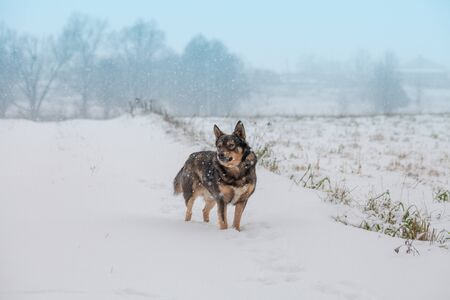 The dog walks in the winter in a snow-covered field in a blizzard Stock Photo