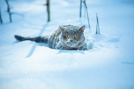 Blue British Shorthair cat covered with snow sitting in the deep snow
