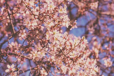 Blooming orchard. The branches of the flowering apricot tree